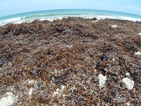 Seaweed is piling up on Atlantic beaches, like Pepper Park on North Hutchinson Island, Fort Pierce.