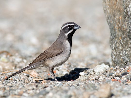 A black-throated sparrow, photographed in 2009 in the Santa Rosa and San Jacinto Mountains National Monument.
