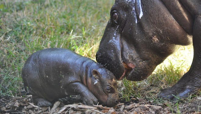 This male pygmy hippo born in the early hours of the morning on August 28, 2014.  The baby hippo was born to Hope and Maji, the Zoo's adult hippo pair.