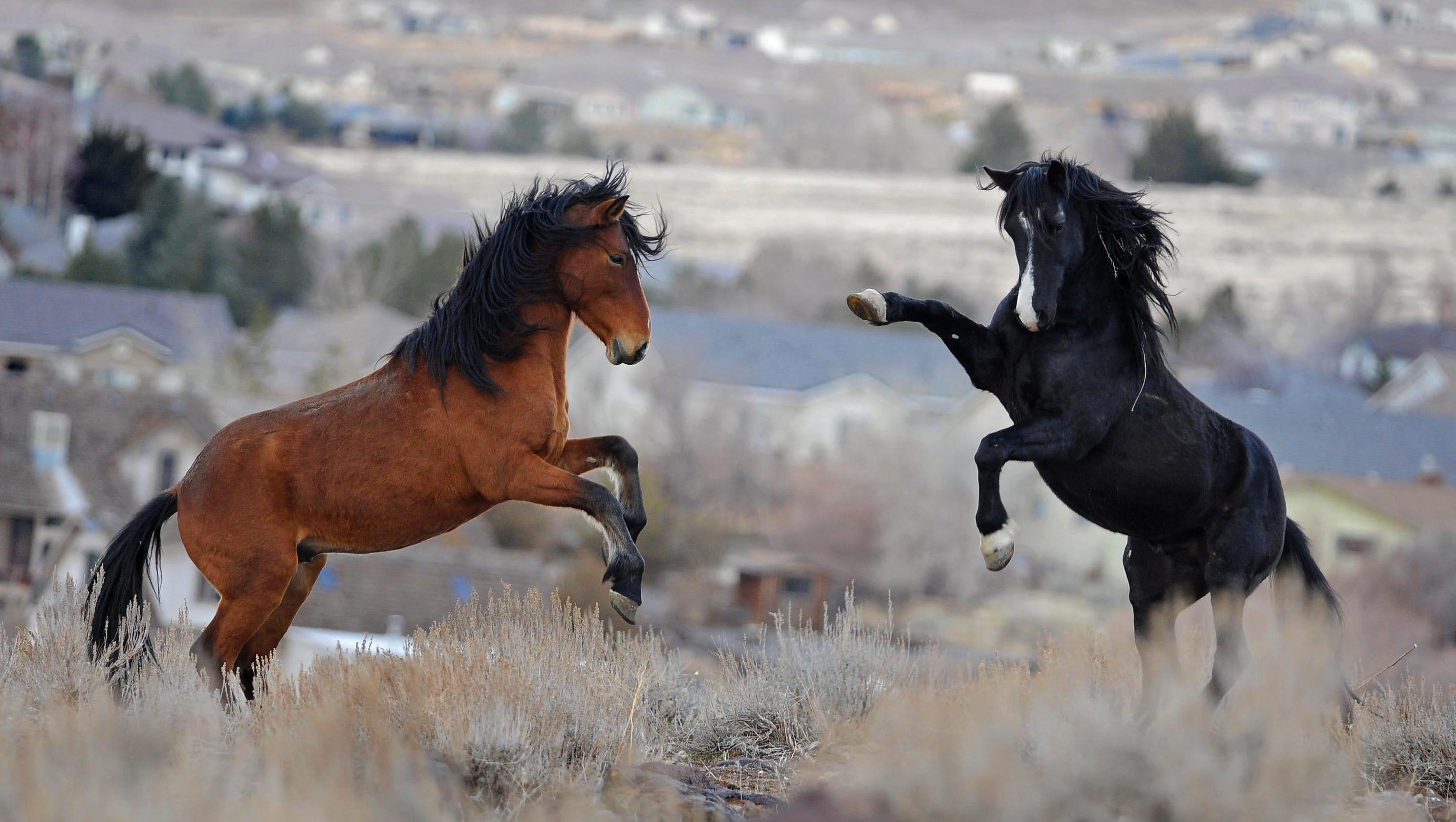 Nevada Terminates Deal That Protected Virginia Range Horses
