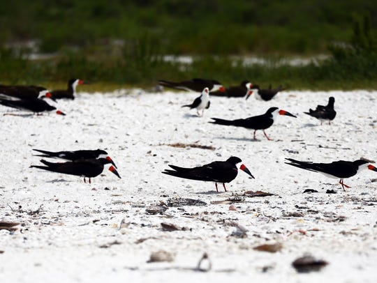 Black Skimmers nest in the sand at Tigertail Beach