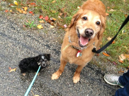 Buster, left, and Scout, right, enjoy a walk on a fall afternoon. Michigan law requires that only a deaf or hearing-impaired person may use a blaze orange dog leash or collar in a public place.