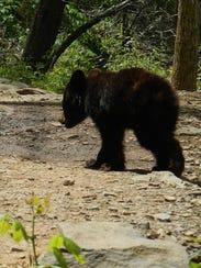 XXX bear-cub