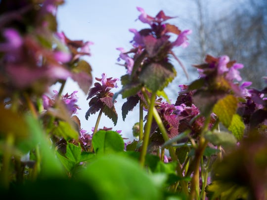 Purple deadnettle and henbit flowers cover part of a corn field near the USI-Burdette Park Trail along Nurrenbern Road in Evansville, Wednesday, March 29, 2017. The flowers are a sign of Evansville's warm winter and early spring.