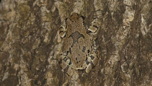 A grey tree frog blends in with its surroundings in at Gonzales-Palmetto State Park.