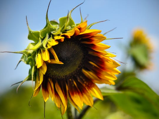 A sunflower adds bright colors to the Common Ground