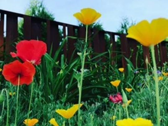 Poppies grow  in Bobby Jett's garden in Iowa City.