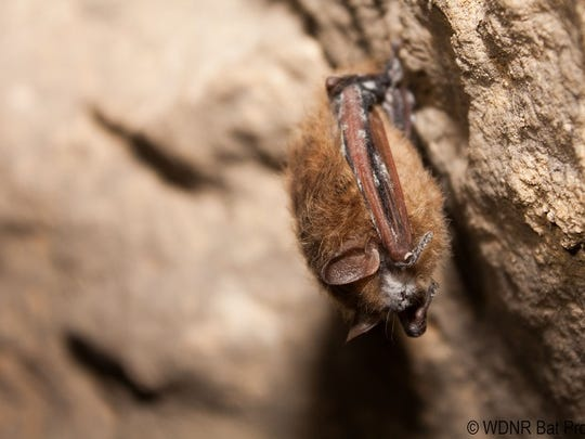 White-nose syndrome is named for the powdery white fuzz that develops on hibernating bats' noses, ears and wings.