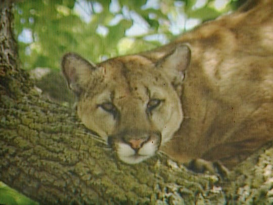 In this 2004 image from television, a mountain lion sits in a tree in a residential area of Palo Alto.