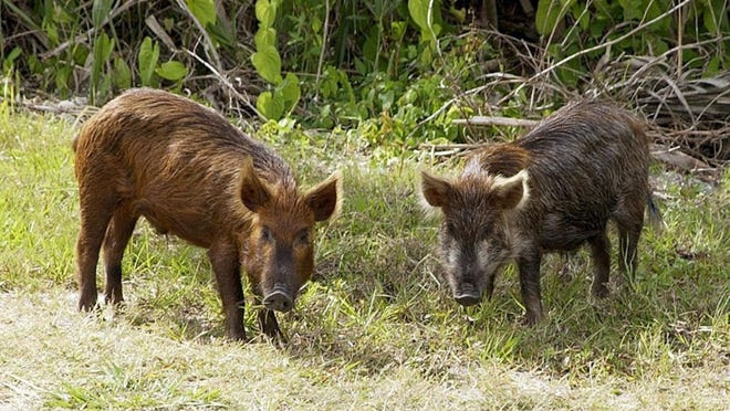 Wichita Falls Parks Department crews have gone to war with wild boars invading Rosemont Cemetery