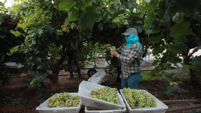 Farmworkers get paid $10 an hour plus a bonus for every box they fill. They usually work before sunset and finish a couple of hours after noon.