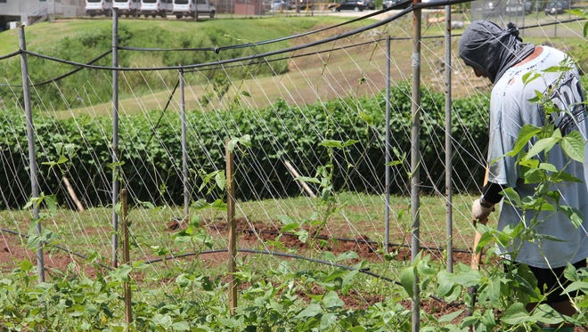 A Guam Department of Corrections inmate works on the facility's farm Thursday afternoon.