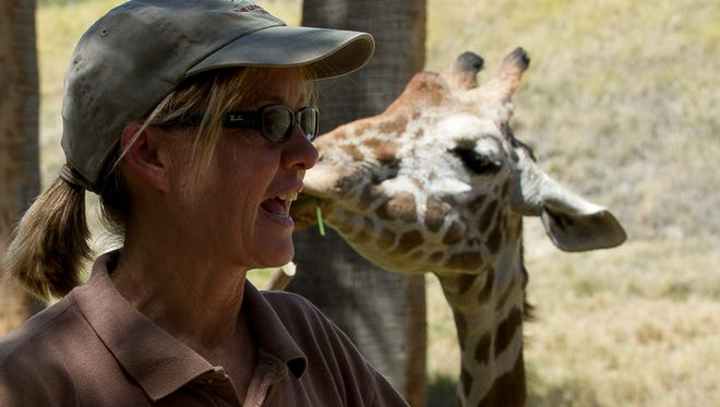 Zookeeper Diane Brabec explains giraffe behavior  as Pona munches on treats Saturday at The Living Desert in Palm Desert. Zookeeper Diane Brabec gives the public an orientation about giraffes as Pona (right) munches on treats during World Giraffe Day at The Living Desert in Palm Desert on Saturday morning, June 21, 2014. Photo by Gerry Maceda, Special to The Desert Sun