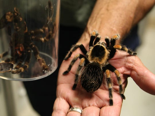 Meet Paco: A red-kneed tarantula on map where do tarantula, how long do tarantulas live, map of where camels are from, where do tarantulas live, map where do lizards live on a glass, map of brown recluse spiders in the us, map of arkansas, were tarantula live, map where do praying mantis live, map of mississippi natural resources, maps of where the brown widows live, map of tarantulas in us, map of tarantula hawk wasp,