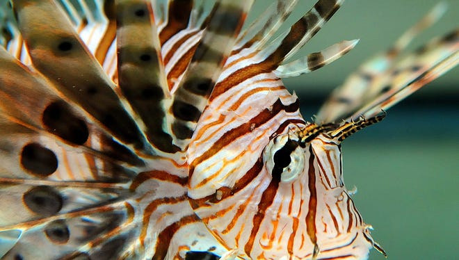 The Florida Fish and Wildlife Conservation Commission wants to know where lionfish are spreading, how fast, and how many are being killed. So they have developed an app for people who can share photos of their catches from different areas.