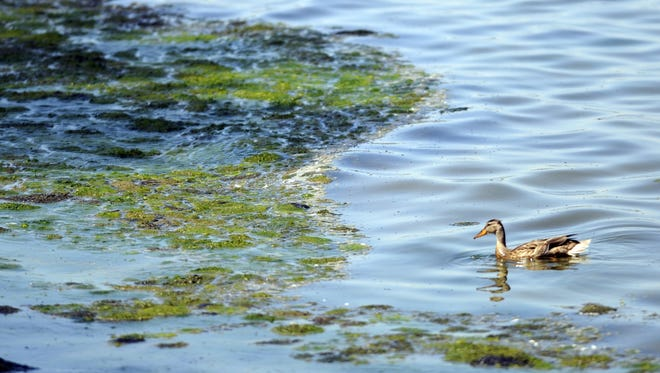 A duck swims along the shoreline of Green Bay in 2012, near an accumulation of algae off Communiversity Park near the University of Wisconsin-Green Bay.