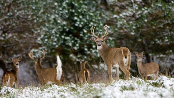 Improving habitat for white-tailed deer often helps