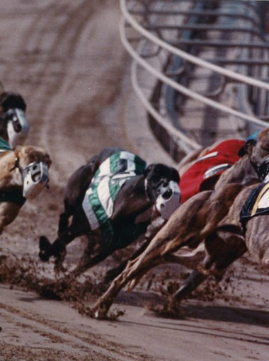 Holy Tera rounds the first turn at the Corpus Christi Greyhound Racetrack on the way to winning her 100th victory on Jan. 27, 1992.