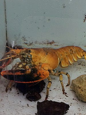 Hy-Vee's rare orange lobster in its new home at the National Mississippi River Museum and Aquarium in Dubuque.