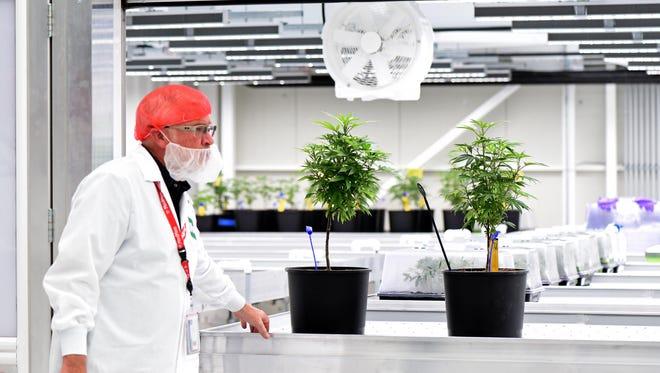 Young marijuana plants at the MedMen facility in Reno, Nevada on April 11, 2018.