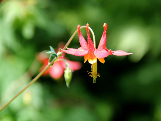 Wildflower_-_Crimson_Columbine3