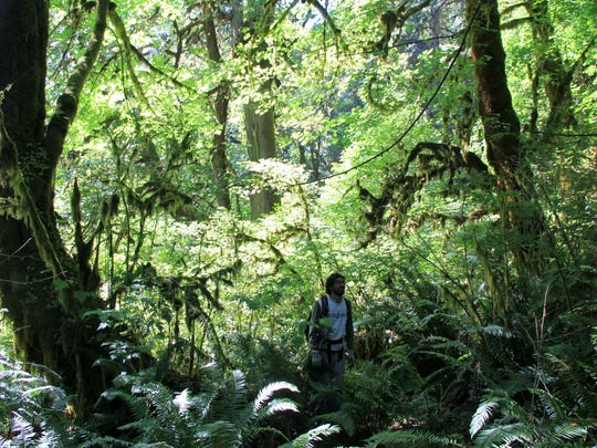 Josh Laughlin walks among the dense forest within the proposed Devil's Staircase Wilderness, located east of Reedsport in the Central Coast Range.