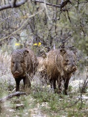 Javelina are common in much of central and southern