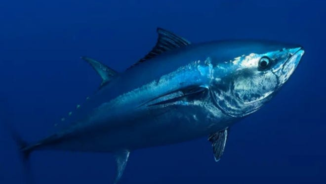 A new report by an international tuna conservation commission indicates the stock ofAtlantic bluefin tunahas plummeted to just 13% of its levels 70 years ago.