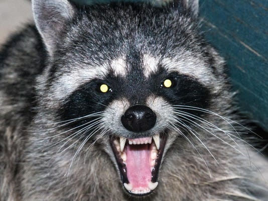 Zombie raccoon' removed in East Lansing after neighbors take