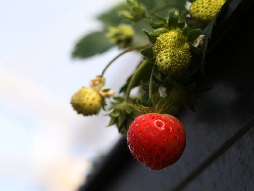 Strawberries begin to grow at the Wegmans organic farm