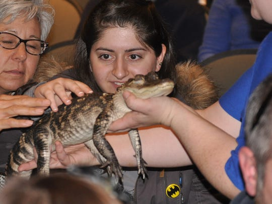 A girl gets a closer look at Marsha the alligator on Sunday at the Catoctin Zoo's Live Animal Show at James Buchanan High School.