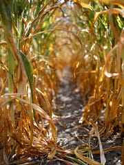 Corn crops are turning a golden brown from the bottom