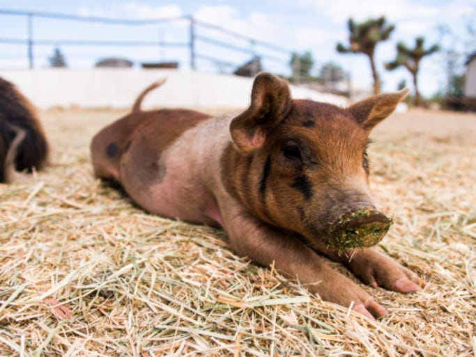Templeton Rye in Iowa is raising pigs intended to produce Templeton Rye tasting bacon.
