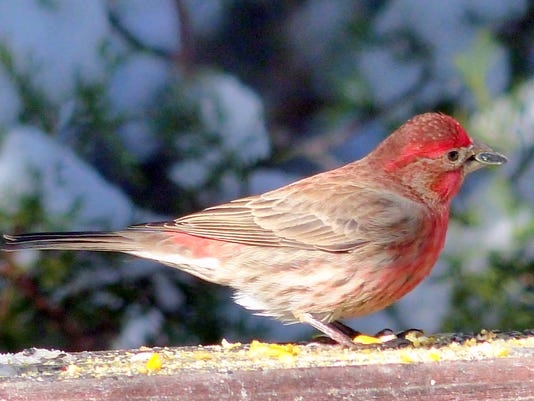 finch with seed