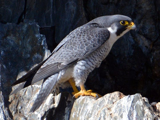 A Peregrine falcon perches on a rock face.