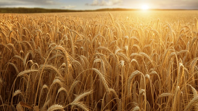 Sun at the wheat field