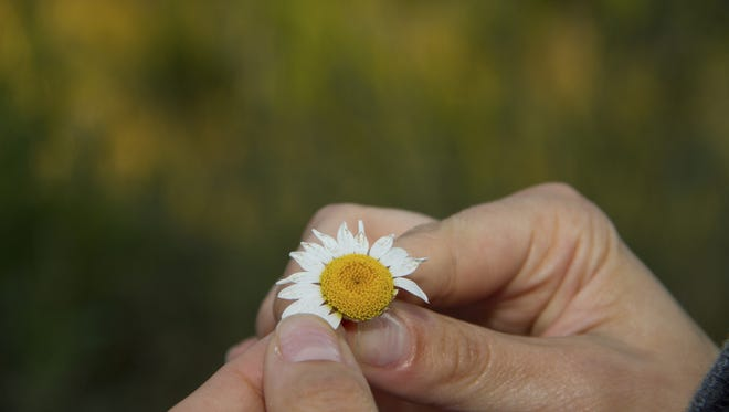 Pulling petals from a daisy