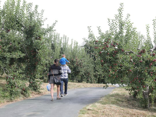 People stroll the path of apple trees at Harvest Moon