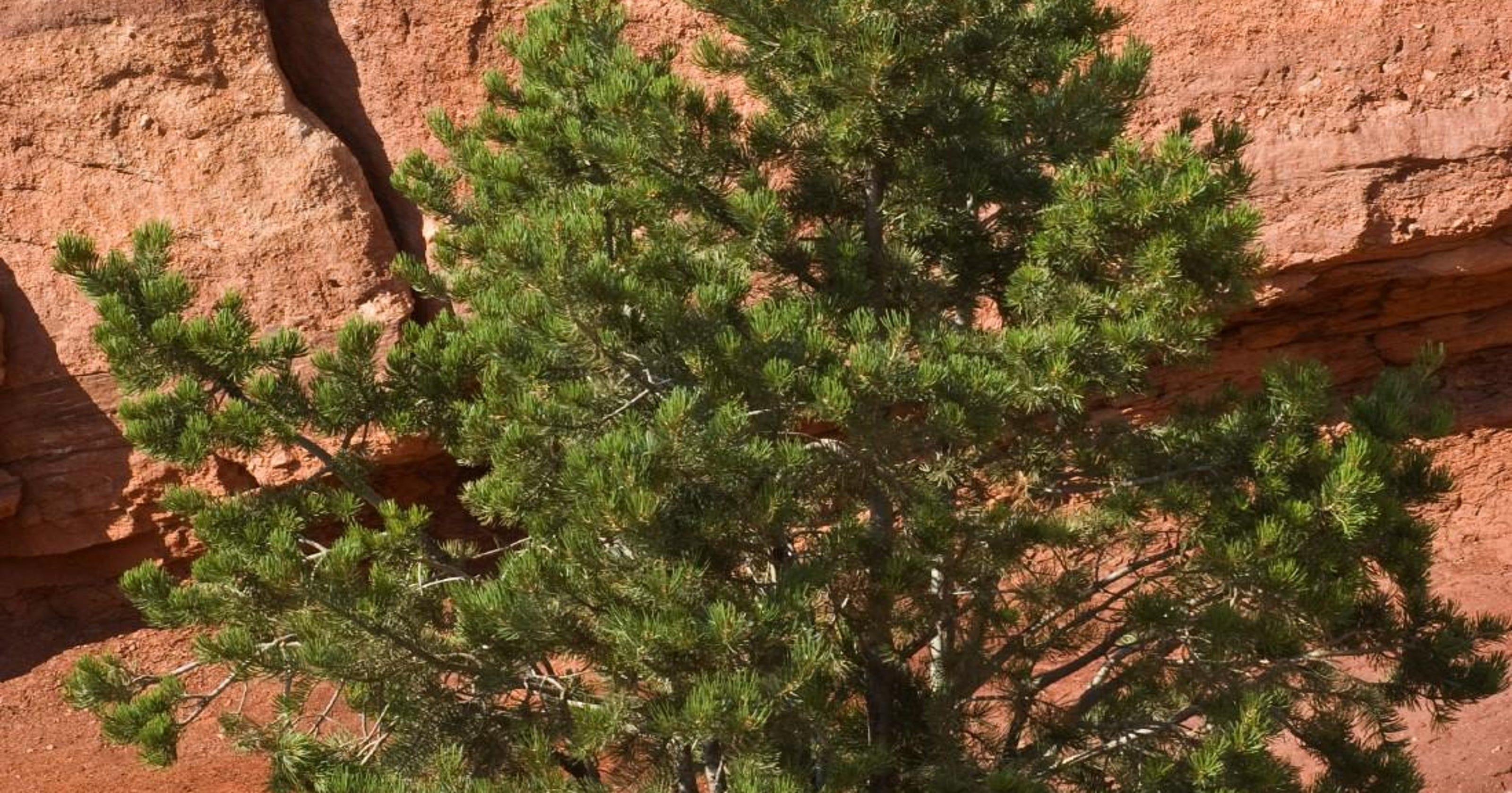 Meet the Pinyon Pine tree