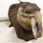 Dundar, an Asian small-clawed otter, munches on a fish. Dunder is one of SeaWorld Orlando's animal ambassadors.