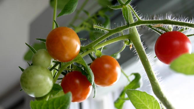 Eat a more healthy diet with your own indoor tomatoes.