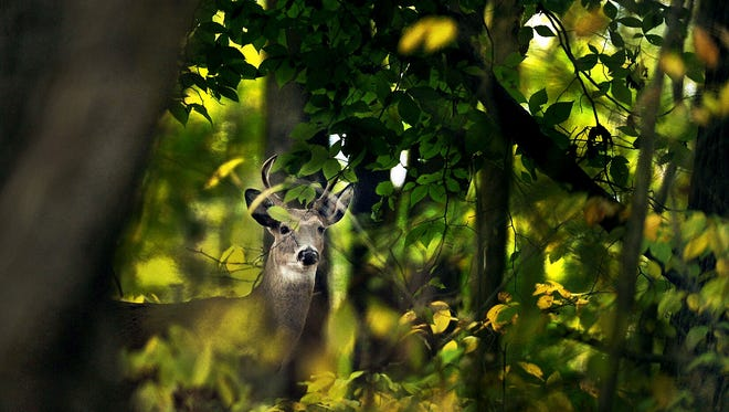 An antlered deer is wary as he peers out from the woods at Eagle Creek Park in Indianapolis.