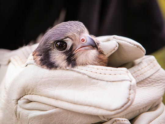 This injured kestrel, a type of falcon, was found dehydrated