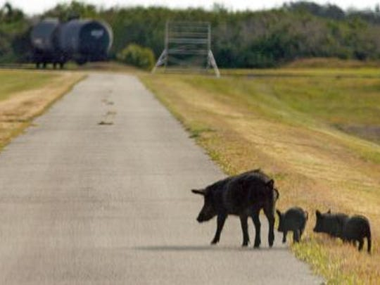 Wild boars near the Kennedy Space Center