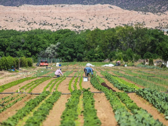 In this Wednesday May 23, 2018, photo, workers harvest crops on Matt Romero's farm in Alcalde, N.M. Romero, who gets his water through the Embudo Valley's Acequia del Llano, said the ongoing drought affecting New Mexico and parts of the West has forced farmers to take unusual steps.