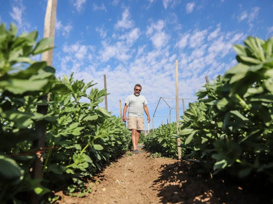 In this Wednesday, May 23, 2018, photo, Matt Romero walks through rows of fava beans at his farm in Alcalde, N.M. Romero's farm, formerly his grandfather's orchard, has been in production for years. Romero, who gets his water through the Embudo Valley's Acequia del Llano, said the ongoing drought affecting New Mexico and parts of the West has forced farmers to take unusual steps.