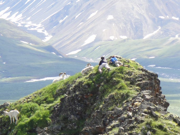 Two hikers peacefully crawled up to the level of the Dall sheep who were enjoying the view. The hikers were enjoying the sheep and the view.