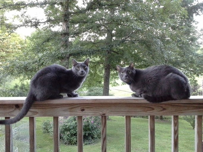 'Kopernikus and Baloo. They are both rescue cats. Happy National Cat Day!'
