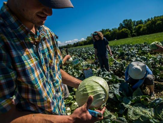 CCV student Nick Kierstead helps harvest cabbage for
