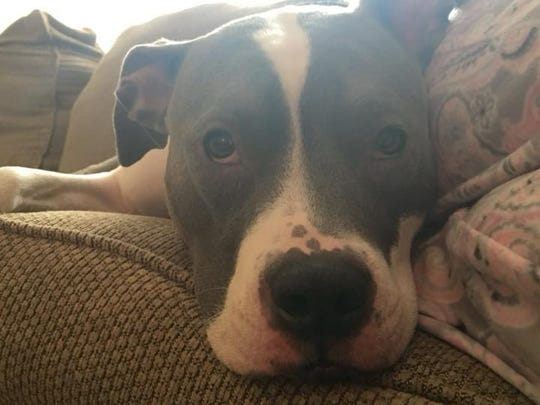 Evie, the pit bull of Tom and Meghan Loomis, lounges on the couch in PItman.